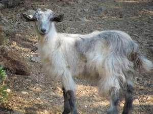 Hot, shaggy goat