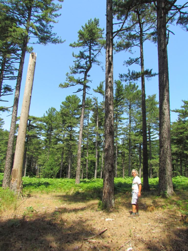 In the forest of very tall, straight trees