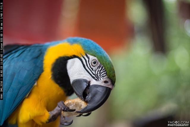 Parrot_Bolivia_16010049844_36f3a0f60a_z