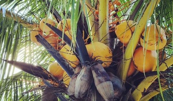 Coconuts in Bolivia
