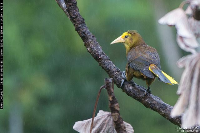 Oropéndola Psarocolius angustifrons - Bird in Rurrenabaque, Bolivia