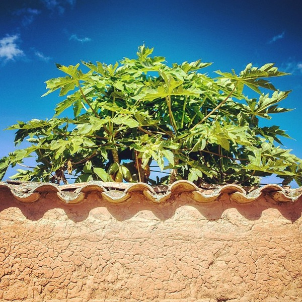 Papaya Plant Samaipata