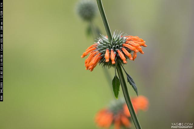 Samaipata orange flower
