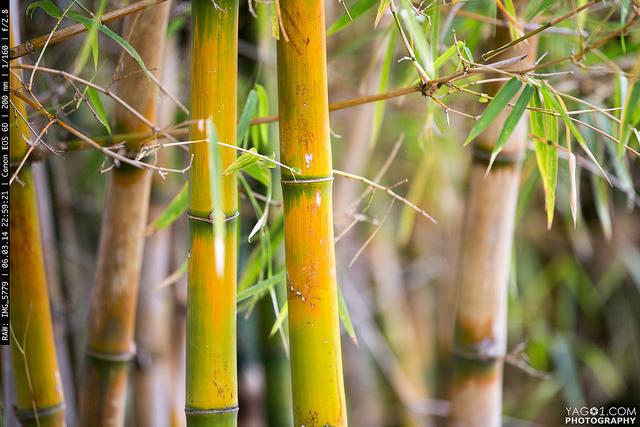 Bamboo_CostaRica
