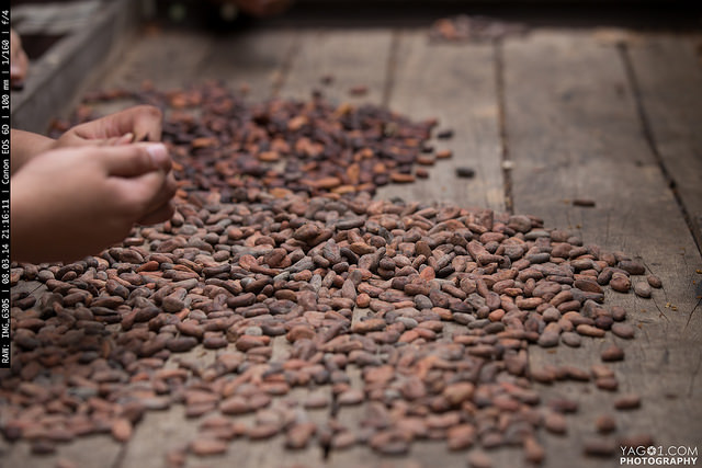 Drying the Cacao seeds on the sun