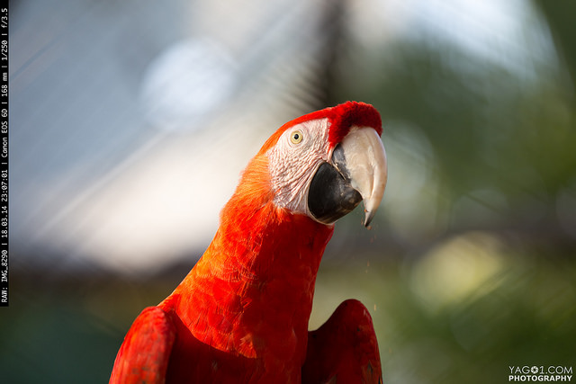 Red-winged Macaw (ARA) Bird