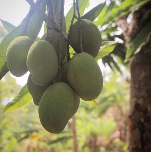 Mango in Paso del Mango Colombia