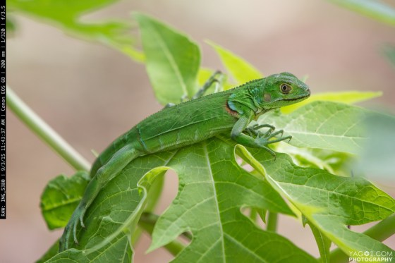 Camouflaged Vivid Green Jungle Lizard Colombia
