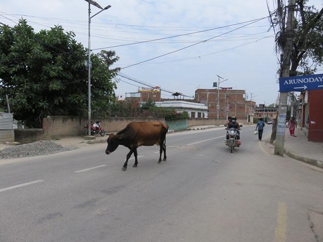 Népal Kathmandu vache sacrée