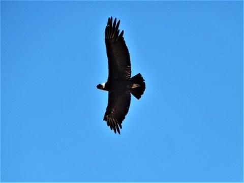 Argentine Iruya condor