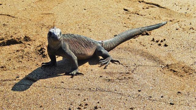 Galapagos ile Floreana iguane