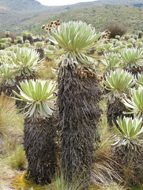 Colombie Paramo de Oceta frailejones