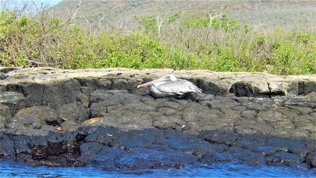 Galapagos ile Floreana pélican