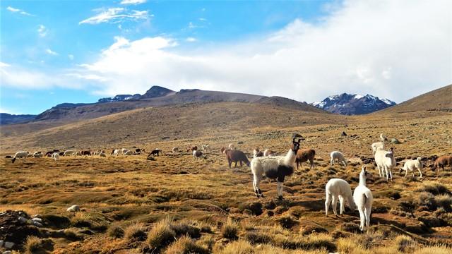 Pérou Arequipa alpagas lamas
