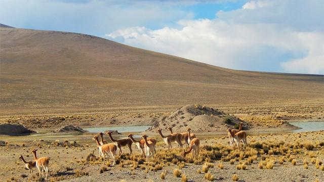 Pérou Arequipa vigognes