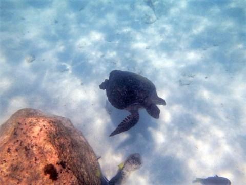 Galapagos ile Floreana snorkeling tortue