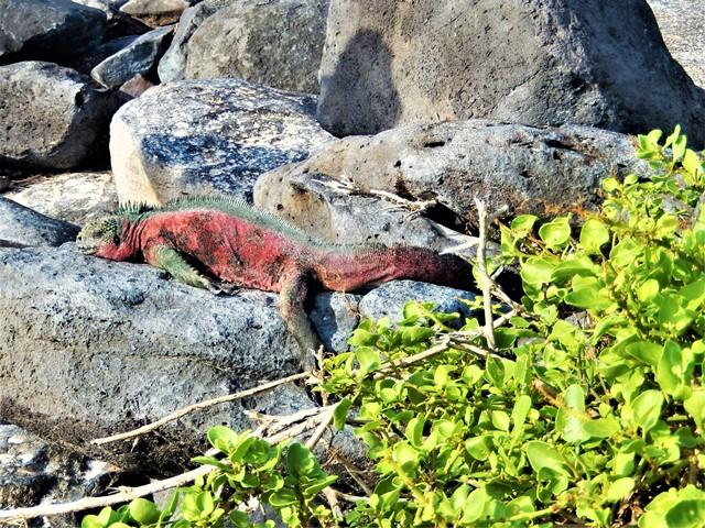 Galapagos ile Espanola iguane