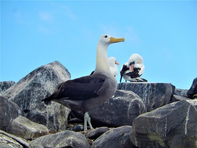 Galapagos ile Espanola albatros