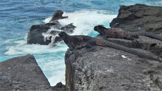 Galapagos ile Espanola iguanes