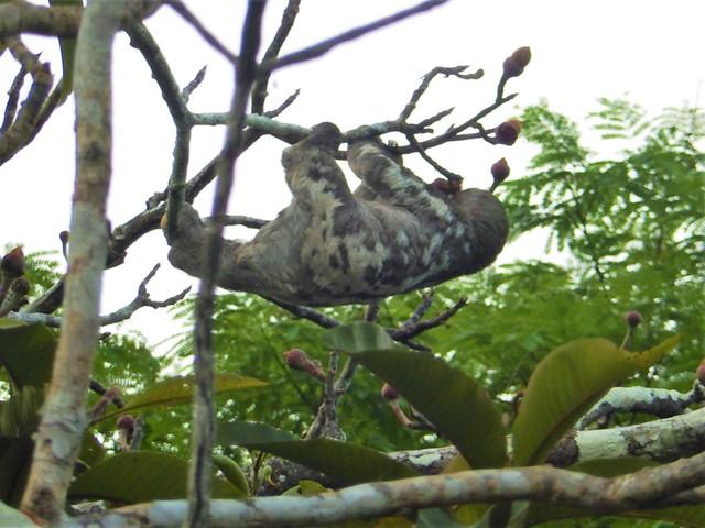 Pérou Amazonie paresseux