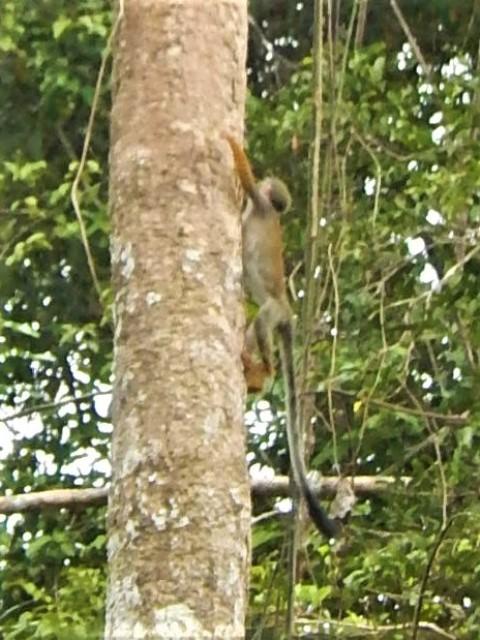 Pérou Amazonie singe