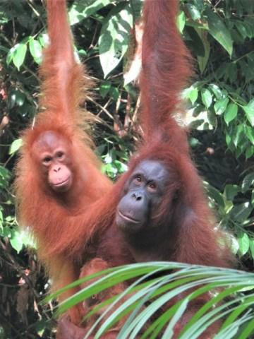 Bornéo Semenggoh famille orangs-outans