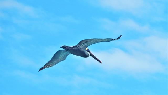 Galapagos ile Espanola baie de Gardner pélican