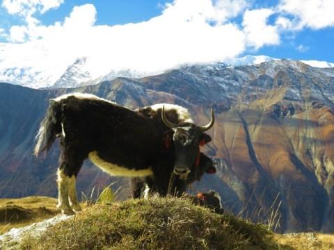 Népal Trek Circuit des Annapurnas yak