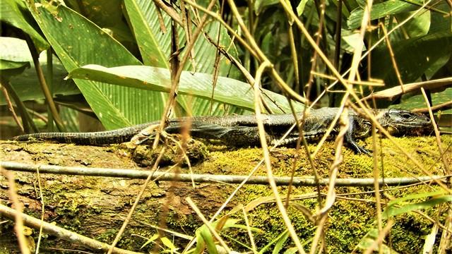 Pérou Amazonie iguane