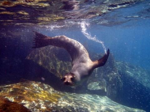 Galapagos ile Espanola snorkeling lion de mer
