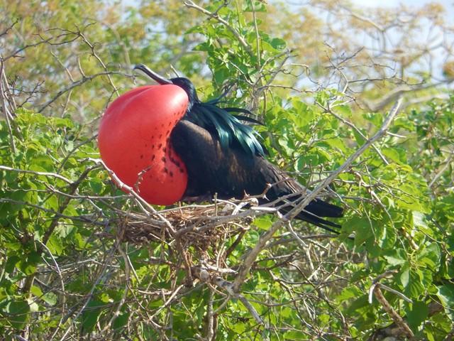 Galapagos ile Seymour oiseau