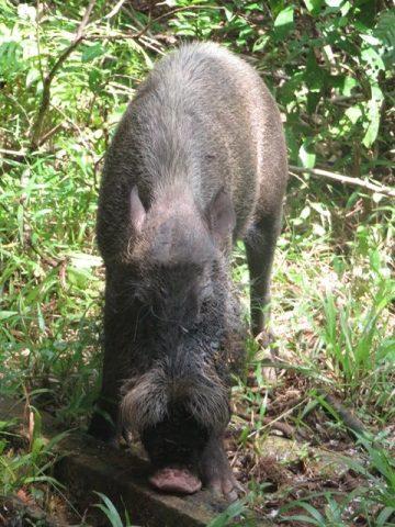 Bornéo Parc National de Bako sanglier