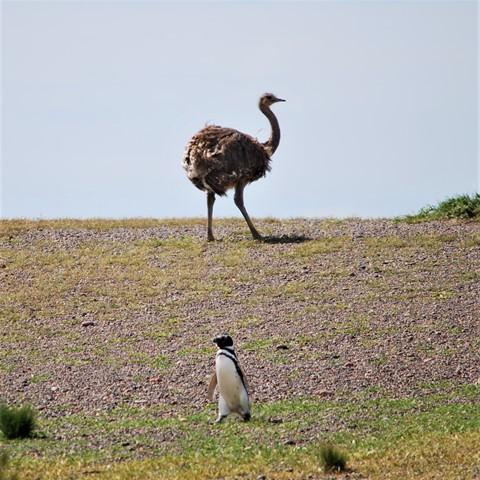 Argentine Péninsule Valdès autruche manchots Punta Tombo