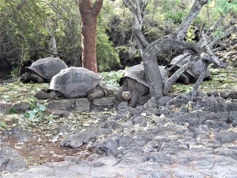 Galapagos ile Santa Cruz station Charles Darwin tortues