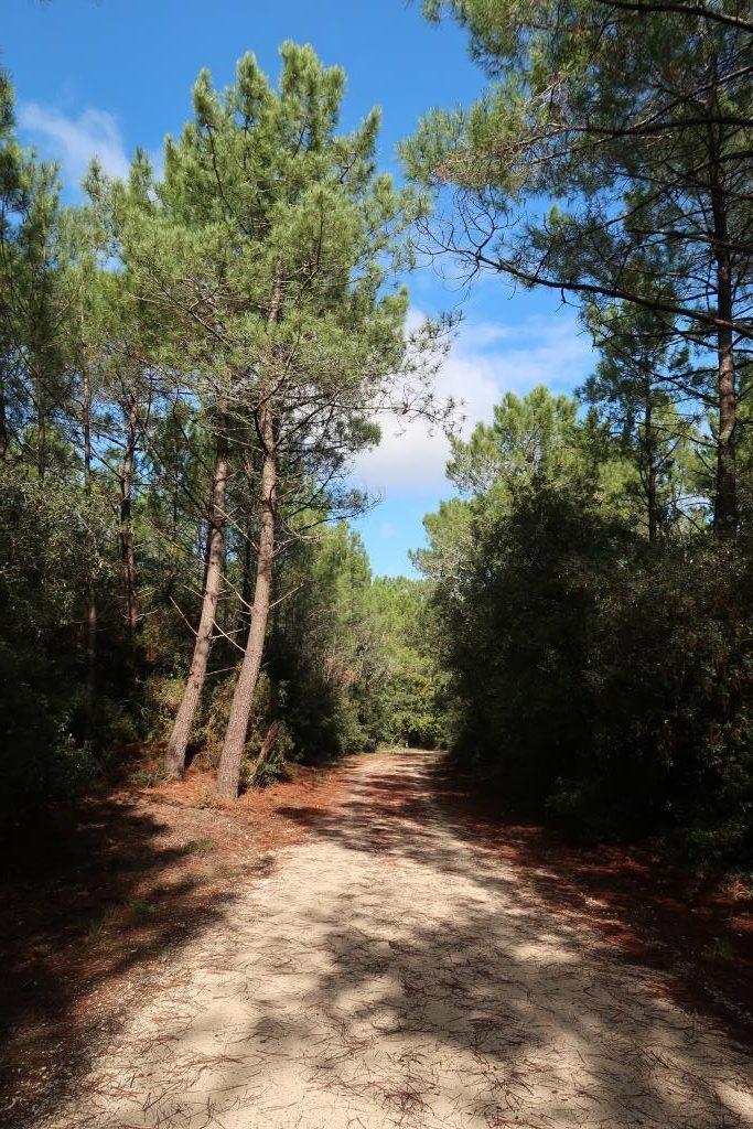 Oléron forêt pins