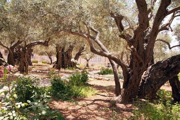 ancient olive trees in Jerusalem's Garden of Gethsemane, photo by Noam Chen
