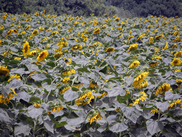 sunflowers, central Israel