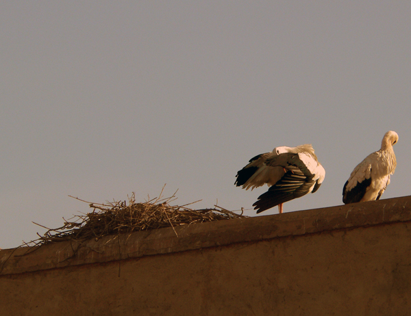 storks somewhere in Morocco