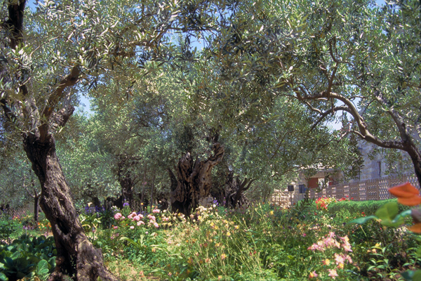 Garden of Gethsemane, Mt. of Olives, Jerusalem