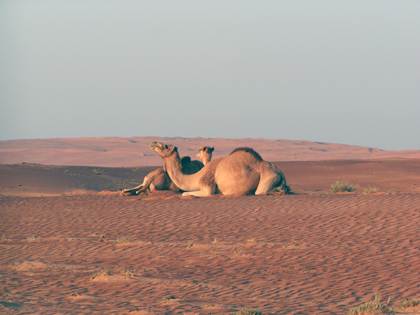 camels in the Wahiba Sands