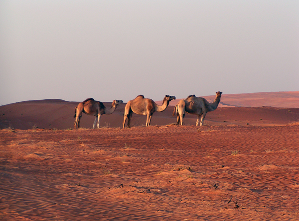 more camels in the Wahiba Sands