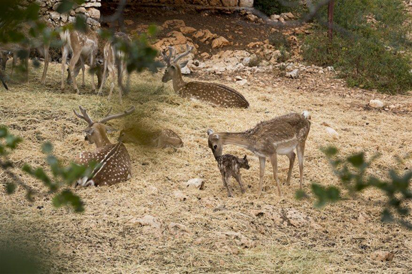 deer on Mount Carmel, photo by Itamar Grinberg, courtesy of IMOT