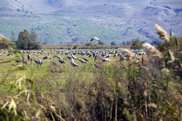 Cranes in the Hula Valley of northern Israel, photo by Itamar Grinberg, courtesy of Israel Ministry of Tourism
