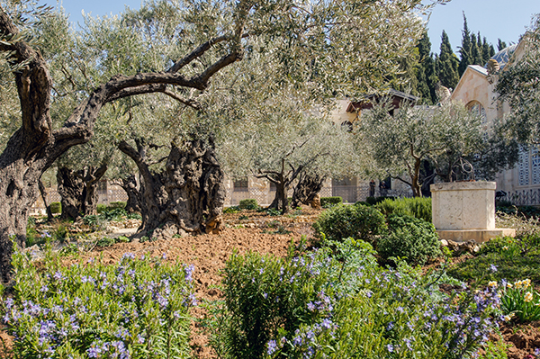 the Garden of Gethsemane on the Mount of Olives, Jerusalem