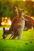 Baby-Roo-Yanchep-National-Park-Perth-YPW2.10-V1-TH1