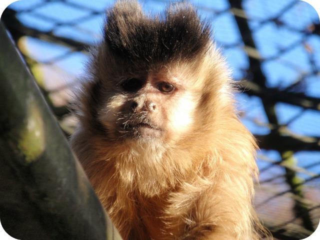 Bénévole au Monkey Sanctuary: singe capucin