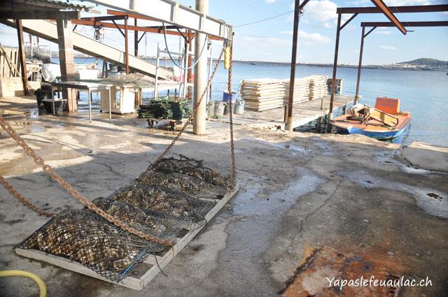 Visite d'une exploitaton d'huites de Bouzigues à Thau