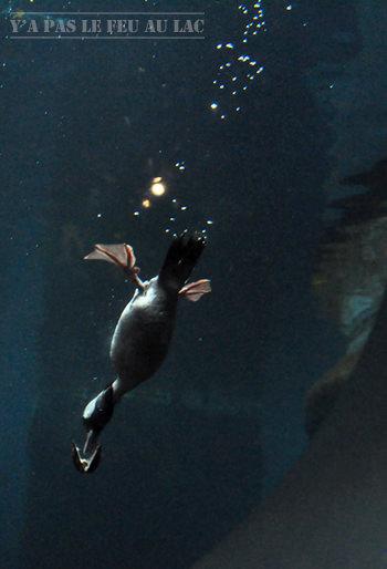 Canard plongeur au Biodôme