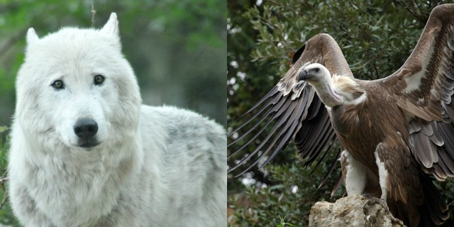Vautour et Loups Cevennes