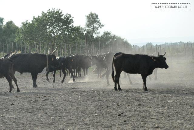 Un troupeau de taureaux de camargue (raço di biou)